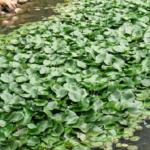 ミナミヌマエビを飼育する際に準備する水草の種類