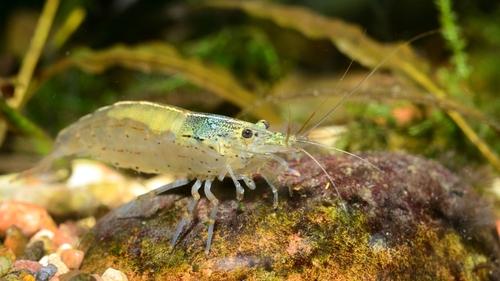 ミナミヌマエビ お腹 緑 背中 卵 抱卵